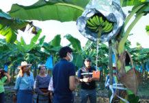 เกษตรฯ ปลื้มเกษตรกรแปลงใหญ่กล้วยหอม ใช้ตลาดนำการผลิต ออเดอร์ล้นไม่พอขาย