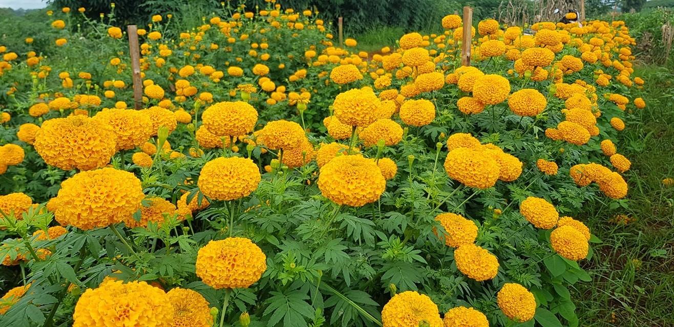 เกษตรกรแห่ปลูกดาวเรืองพันธุ์ 'ซุปเปอร์บอลดีพโกลด์' ติดดอกดก ดูแลง่าย ปลูกขายกำไรงาม
