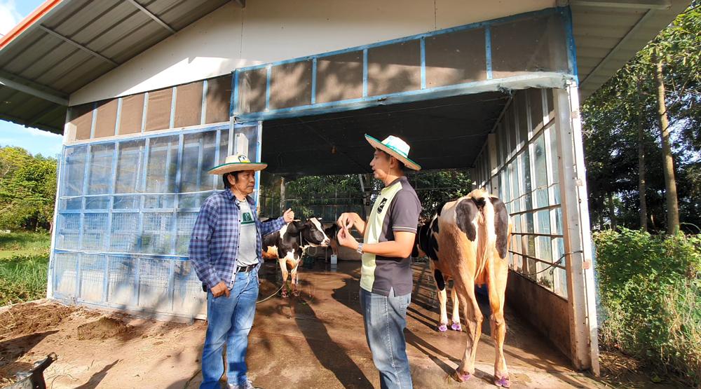เลี้ยงวัวนมได้ทั้งน้ำนมและขี้วัวมาใช้ทำปุ๋ย