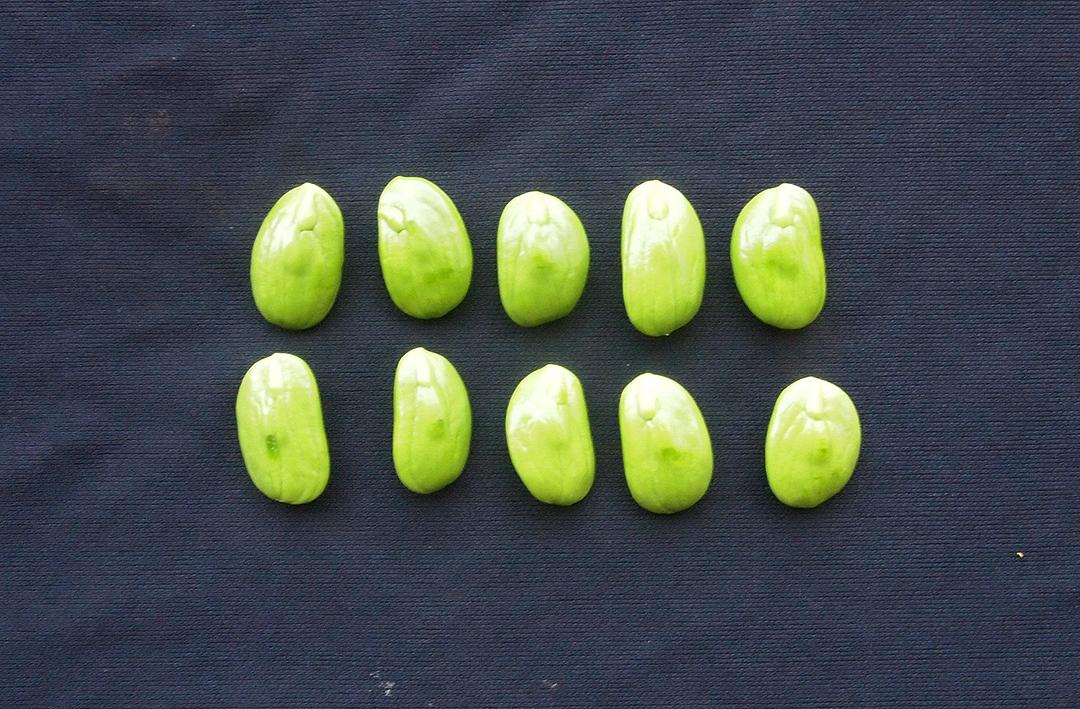 ตรัง 1 สะตอนอกฤดูพันธุ์แรกกรมวิชาการเกษตร กระแสตอบรับปังสร้างรายได้เพิ่มให้เกษตรกรถึง 4 เท่า