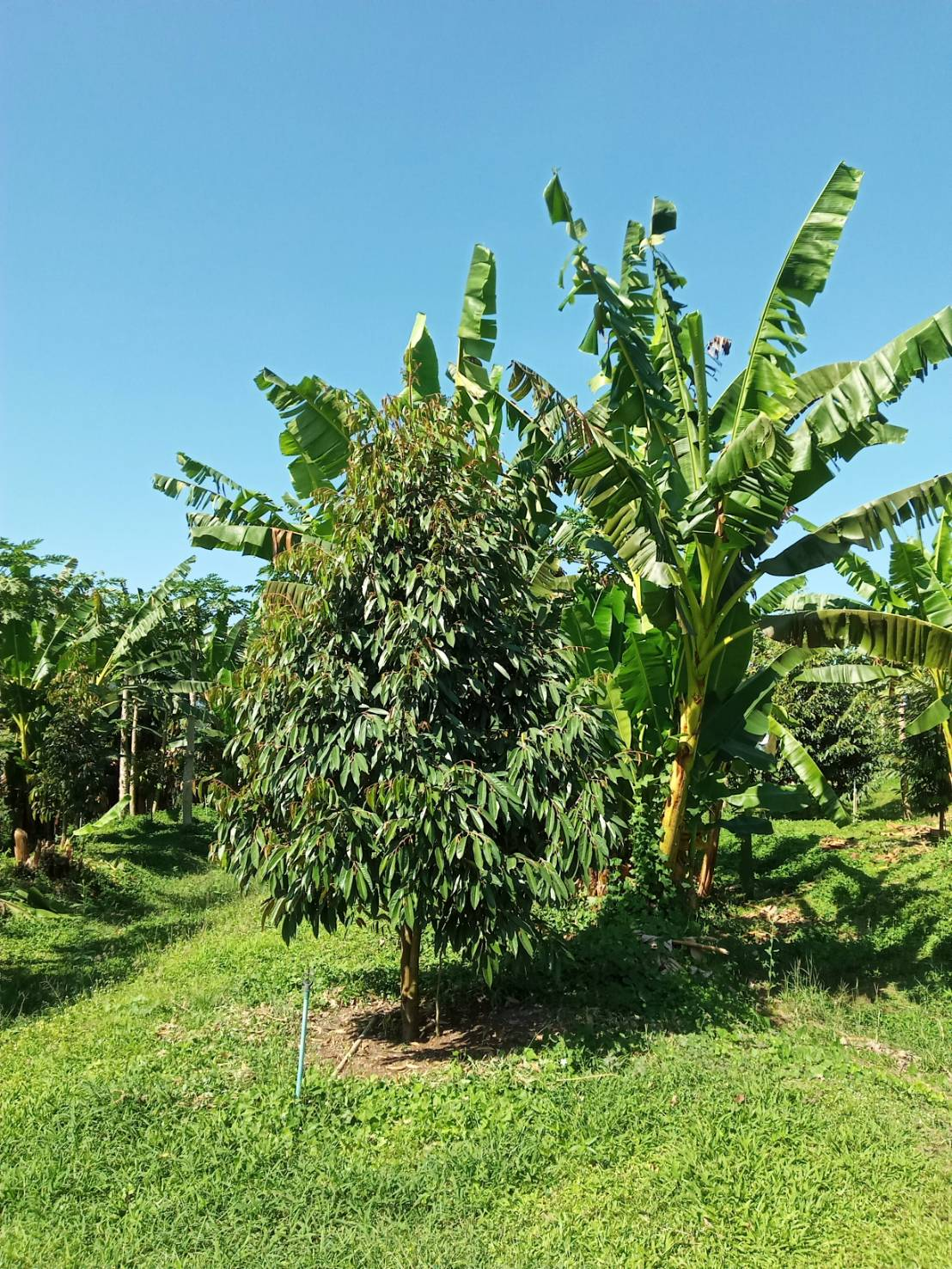 รูปแบบของสวนเกษตรผสมผสาน น่าจะเป็นทางเลือกที่ยั่งยืนของเกษตรกรไทย (ภาพล่าสุดในอีกแปลงหนึ่ง-ปลูกเมื่อปี 62)