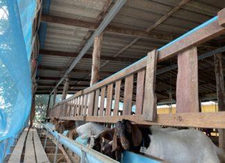 สศท.7 แนะ 'แพะเนื้อ' จ.ชัยนาท สินค้าปศุสัตว์ทางเลือก สร้างรายได้ ตลาดต้องการสูง