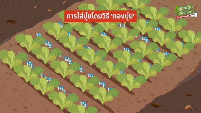 ผักกาดขาวปลี พืชอายุสั้นทำเงินไว ผลิตผลดีตรงสเปกแม่ค้า สร้างกำไรทั้งปี