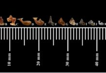 ทีมนักวิจัยร่วม ม.เกษตรศาสตร์ และ ม.บูรพา ค้นพบหอยทากจิ๋วปากแตร ชนิดใหม่ของโลก และมีขนาดเล็กที่สุดในโลก 0.64 มิลลิเมตร ที่จังหวัดสระแก้ว