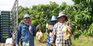 กรมส่งเสริมการเกษตรร่วมแสดงความยินดี ครบรอบ 129 ปี กระทรวงเกษตรและสหกรณ์ พร้อมชูนิทรรศการผลสำเร็จเกษตรแปลงใหญ่ และแปลงใหญ่มะม่วง อ.สามร้อยยอด จ.ประจวบคีรีขันธ์