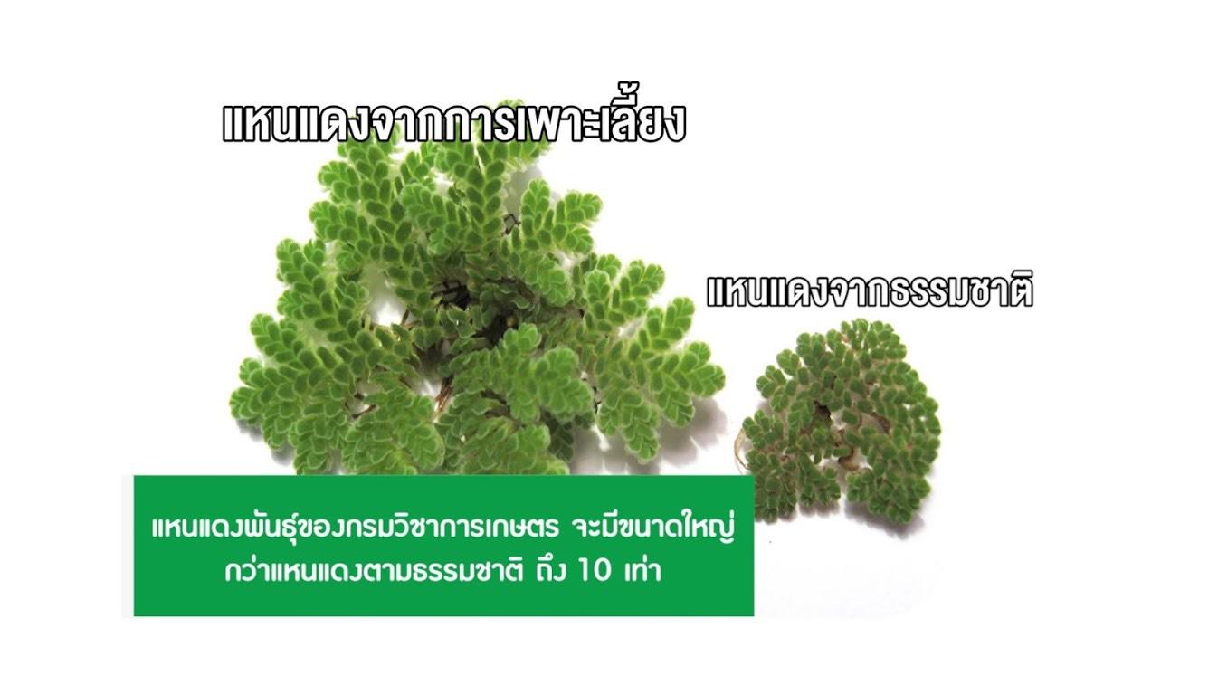 แหนแดงสุดยอดปุ๋ยพืชสดให้ธาตุอาหารสูง ยืนยันใช้ทดแทนปุ๋ยเคมีได้