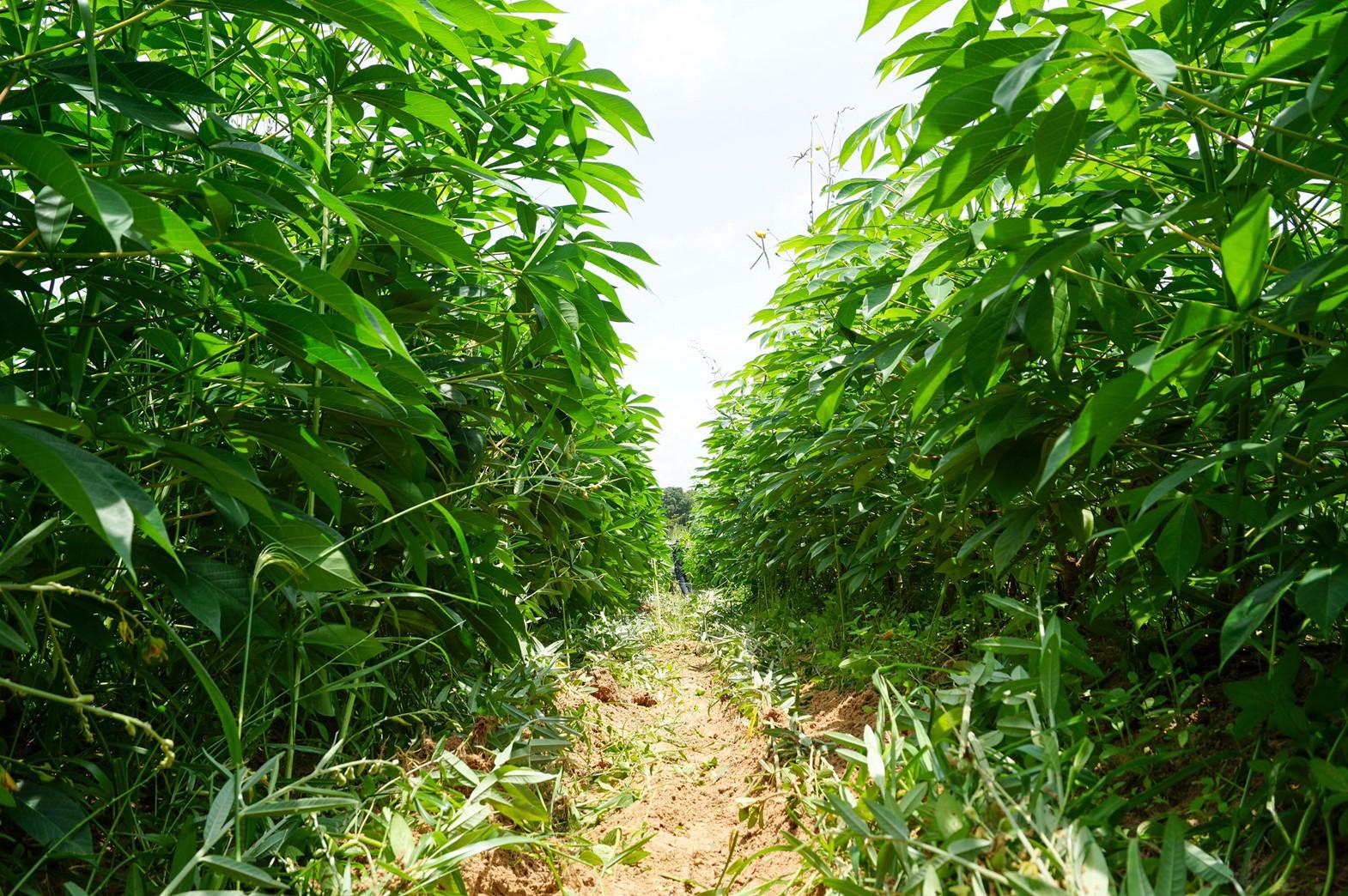 'มันสำปะหลังอินทรีย์' จ.อุบลราชธานี พืชยกระดับรายได้เกษตรกร มีตลาดรองรับ