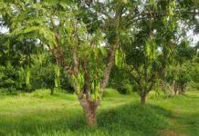 สะตอตรัง 1 ยอดจองทะลุ 70,000 ต้น ต้องปิดจองชั่วคราวและเปิดใหม่ ก.ค.64