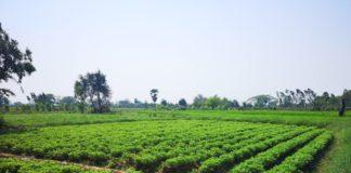 หนุนเกษตรกรชายแดนใต้ปลูกถั่วลิสงพันธุ์ยอดนิยมขอนแก่น 6 เสริมรายได้ปังก่อนกรีดยาง