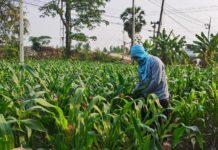 สศก.โชว์ผลสำเร็จ จัดรูปที่ดิน-ระบบน้ำ 1,205 ไร่ อ.ท่ามะกา เมืองกาญจน์ สร้างมูลค่าเศรษฐกิจในพื้นที่ 2.72 ล้านบาท