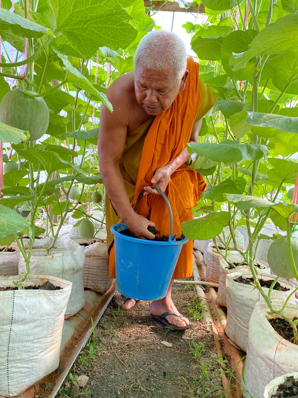 ม.ทักษิณหนุนวัดตะโหมด ส่งเสริมเกษตรกรปลูกเมล่อนอินทรีย์
