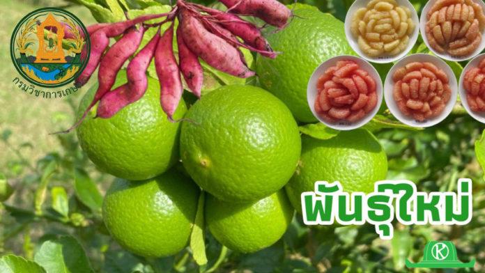 เตรียมเปิดตัวพันธุ์ใหม่!! มะนาว ส้มโอ และมันเทศ กรมวิชาการเกษตรมั่นใจได้เฮ!