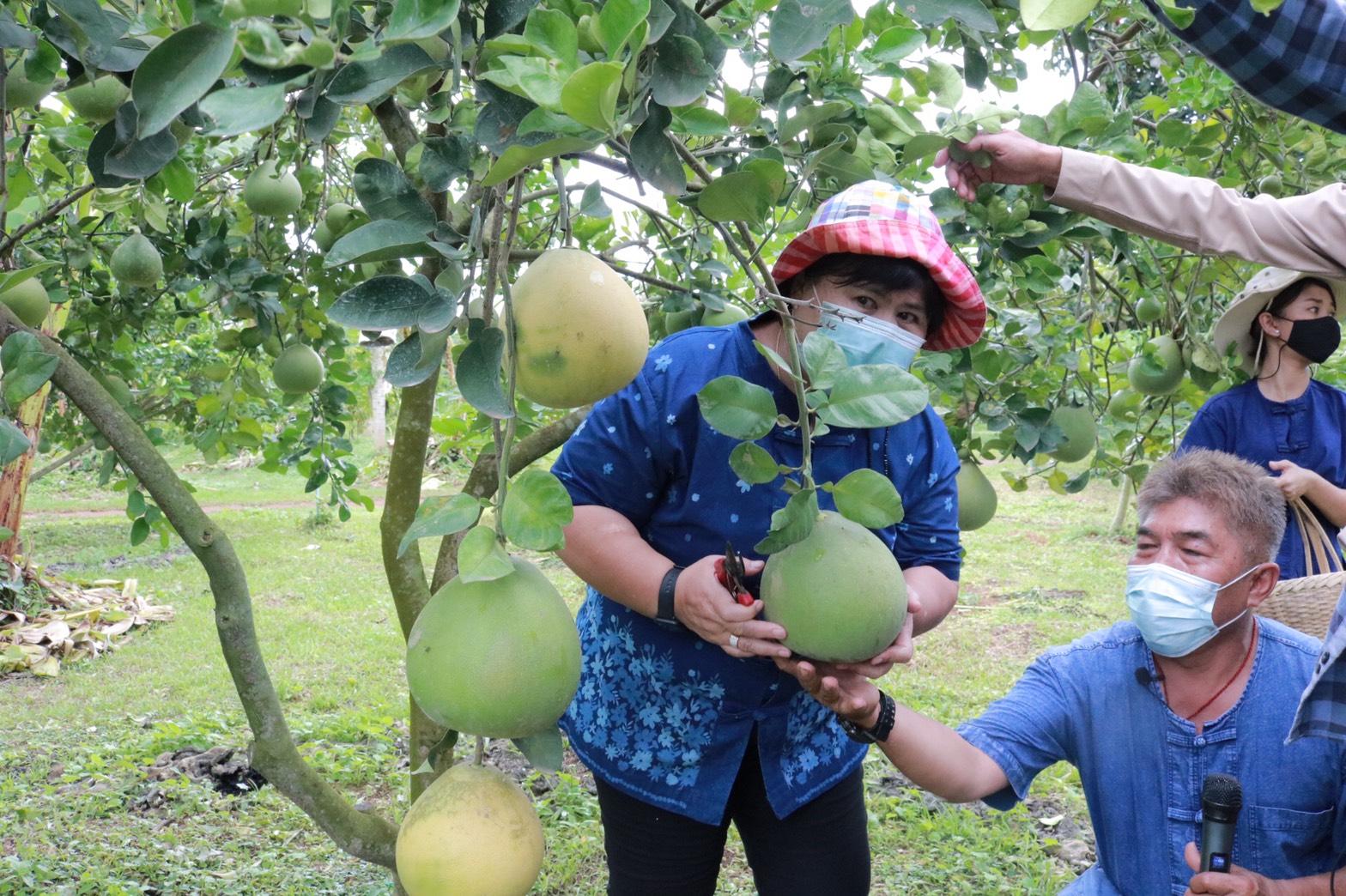 เกษตรอำเภอไทรโยคตัดส้มโอ
