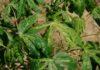 เกษตรฯ เบรกโรคใบด่าง หวั่นทำท่อนพันธุ์มันสำปะหลังสะอาดขาดแคลน สร้างแปลงเกษตรกรผลิตท่อนพันธุ์มันสะอาดมอบให้กรมส่งเสริมฯ 1,371 ไร่