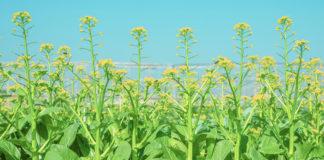 เจียไต๋ชวนปลูกกวางตุ้งดอกลูกผสมสายพันธุ์แรกของไทย ใช้เมล็ดน้อยลง ได้ผลิตผลเพิ่มขึ้นกว่าเท่าตัว