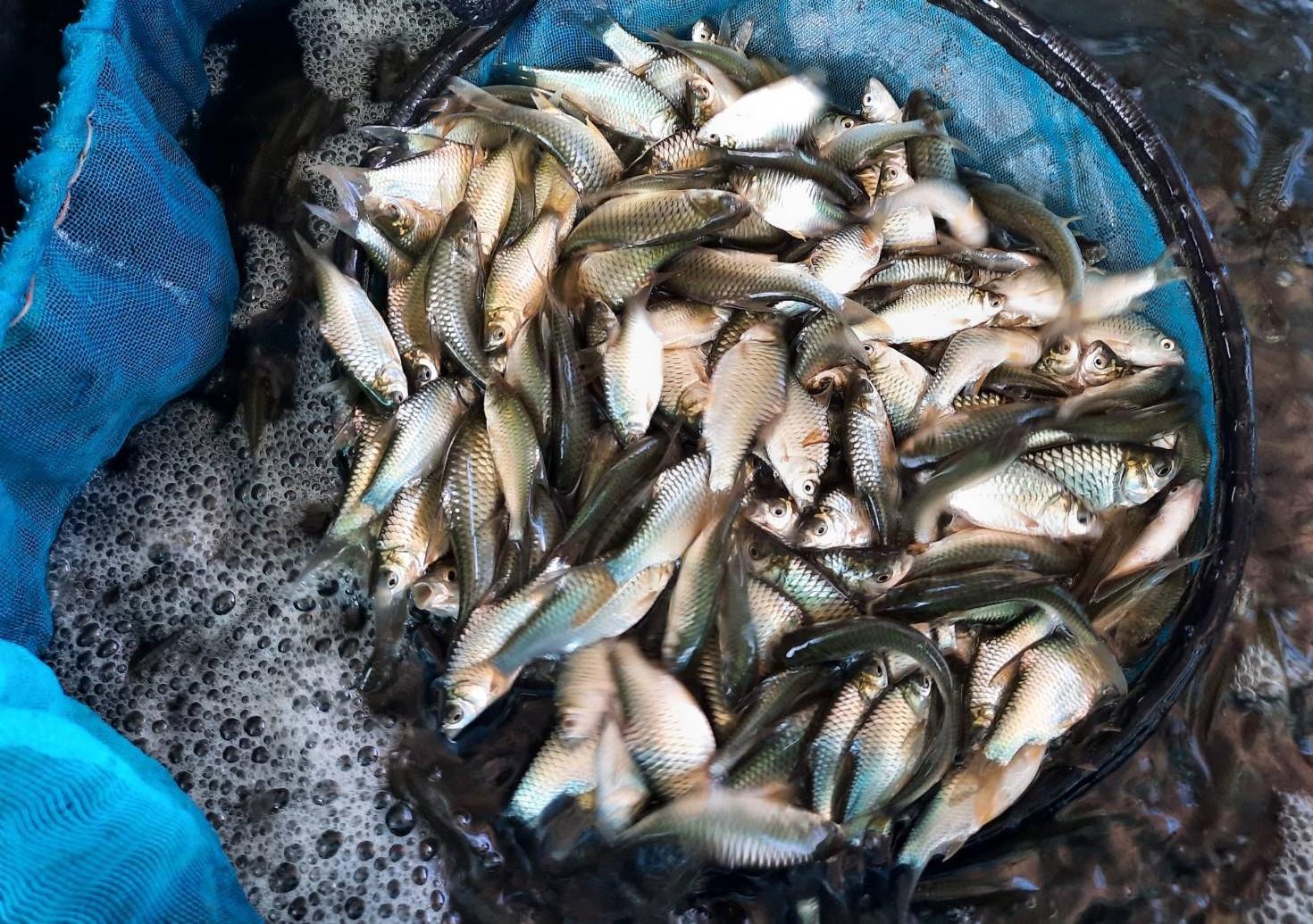 """กรมประมง...เพาะพันธุ์ """"ปลาตะเพียนขาวนีโอเมล"""" สำเร็จ! เพิ่มเปอร์เซ็นต์เพศเมีย เลี้ยงง่าย โตไว ให้น้ำหนักดี ตอบโจทย์เกษตรกร สนองความต้องการของตลาด"""
