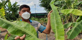 ปลูกกล้วยขายหน่อปลดหนี้ได้กว่า 20 ล้านบาท เจอโควิดหนักสุดๆ แต่ก็ขายออนไลน์ประคองตัวได้