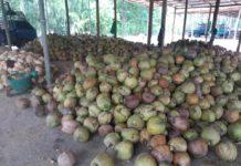 มะพร้าวแกงราคาหล่นผลละ 8.19 บาท เบรกนำเข้าเกิน 3.11 แสนตัน ช่วยชาวสวนมะพร้าว