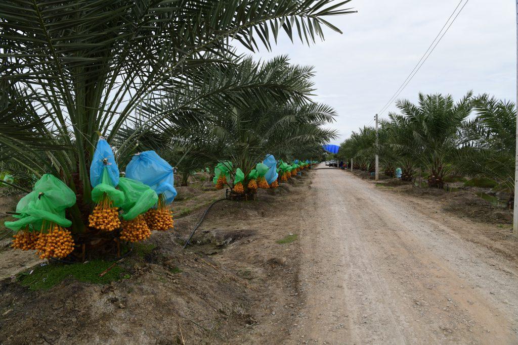 เกษตรกรนนทบุรีชี้ 3 แนวทางพัฒนาการปลูกอินทผลัมสู่ความยั่งยืน
