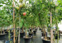 มะเขือเทศส้มตำพันธุ์ใหม่ต้านทานโรคใบหยิกเหลือง ม.เกษตรฯพัฒนาเพื่อเกษตรกรไทย