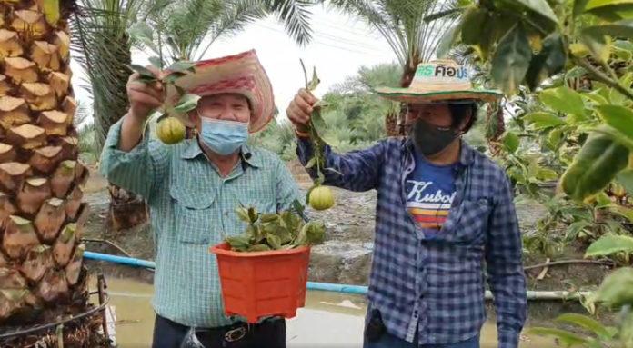 คุณสุเทพ กังเกียรติกุล โชว์ส้มก้านยาวนนทบุรี ที่ปลูกแซมอินทผลัม...