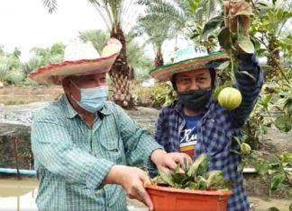 """เกษตรกรนนทบุรี..โชว์แข่งขันเก็บ """"ส้มก้านยาว"""" สร้างกิจกรรมการตลาดให้เกิดขึ้นในสวน"""