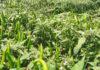 โรคกุ้งแห้งพริกสยบ!! ปราบด้วยชีวภัณฑ์บีเอส ดีโอเอ-19W6 เกษตรกรผลิตเองได้ในนมกล่อง